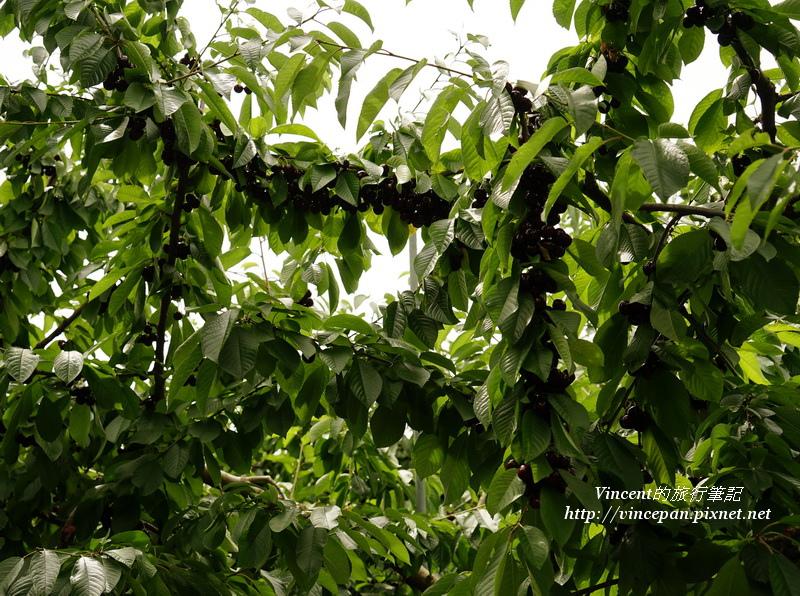 黑櫻桃樹枝