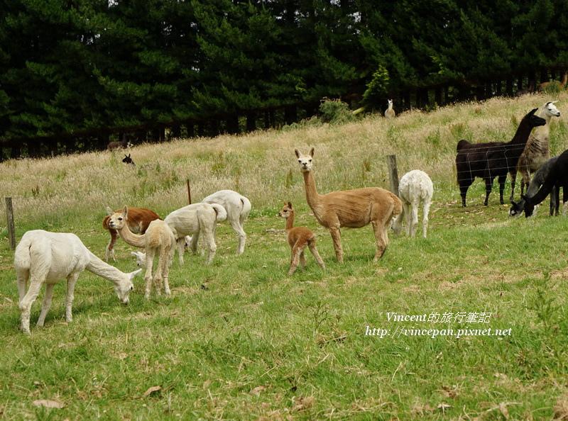 羊駝寶寶2