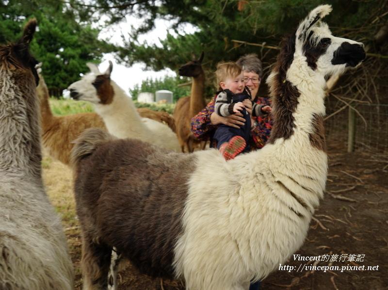 小孫子騎上駱馬
