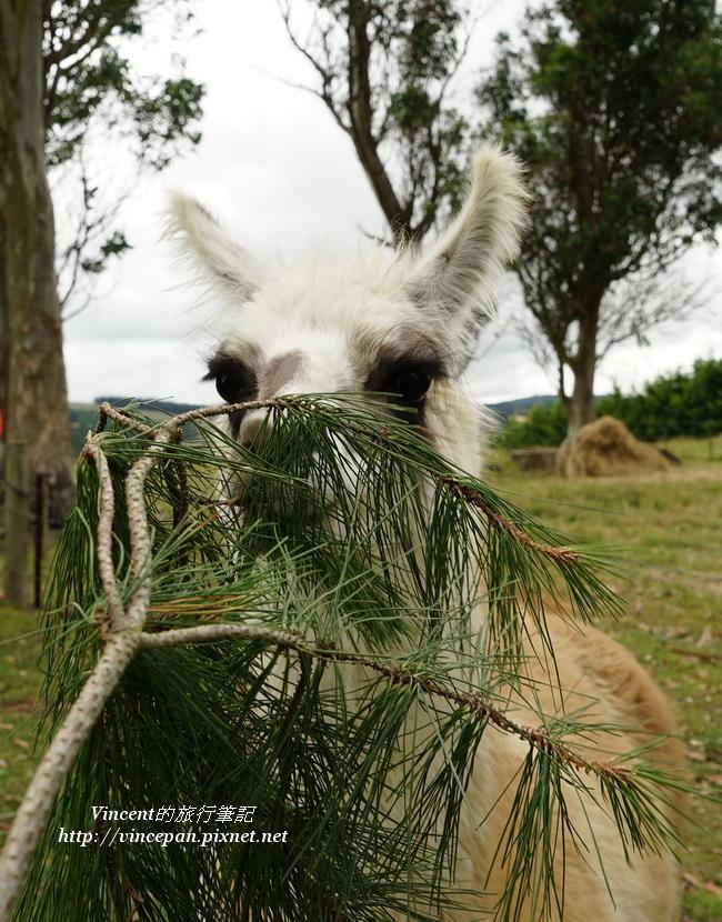 駱馬吃樹枝