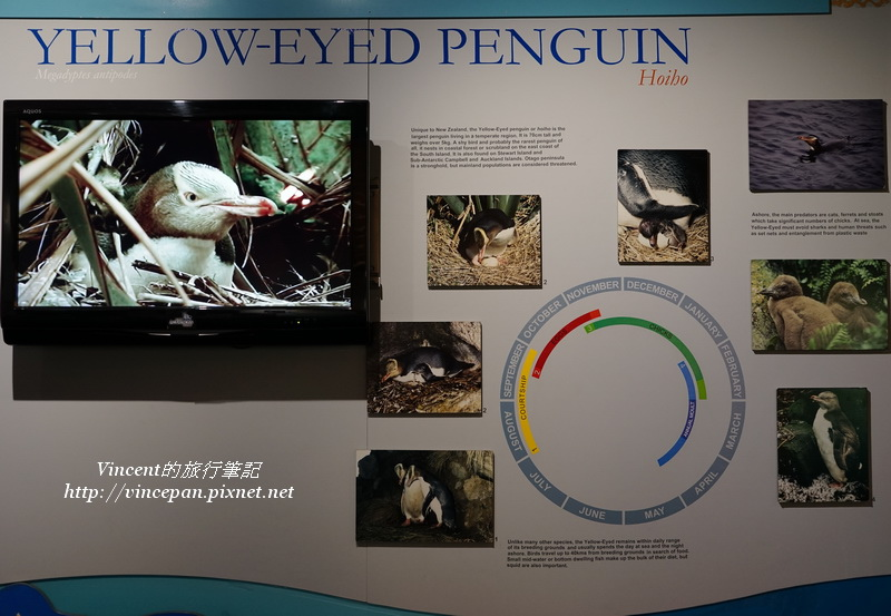 黃眼企鵝介紹