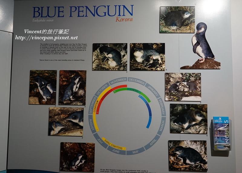 藍企鵝介紹