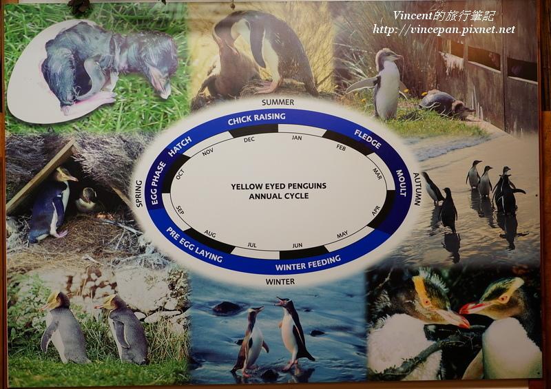 黃眼企鵝年度生態