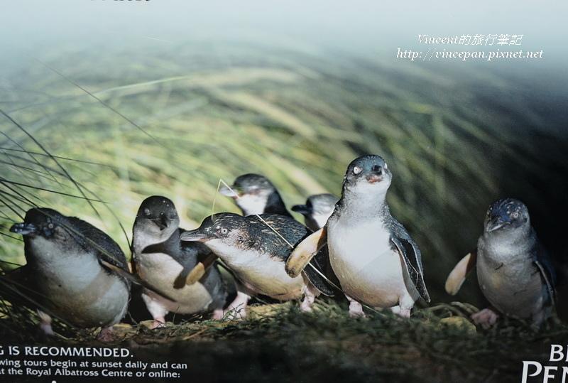 藍企鵝照片