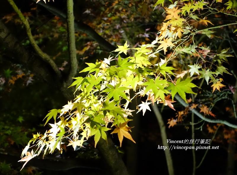 永觀堂  圍牆楓葉