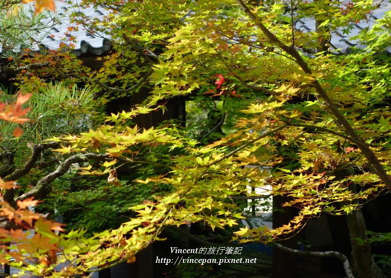永觀堂庭園楓葉