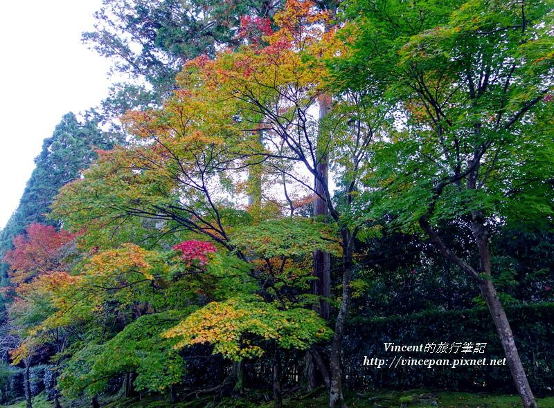 二尊院 楓樹
