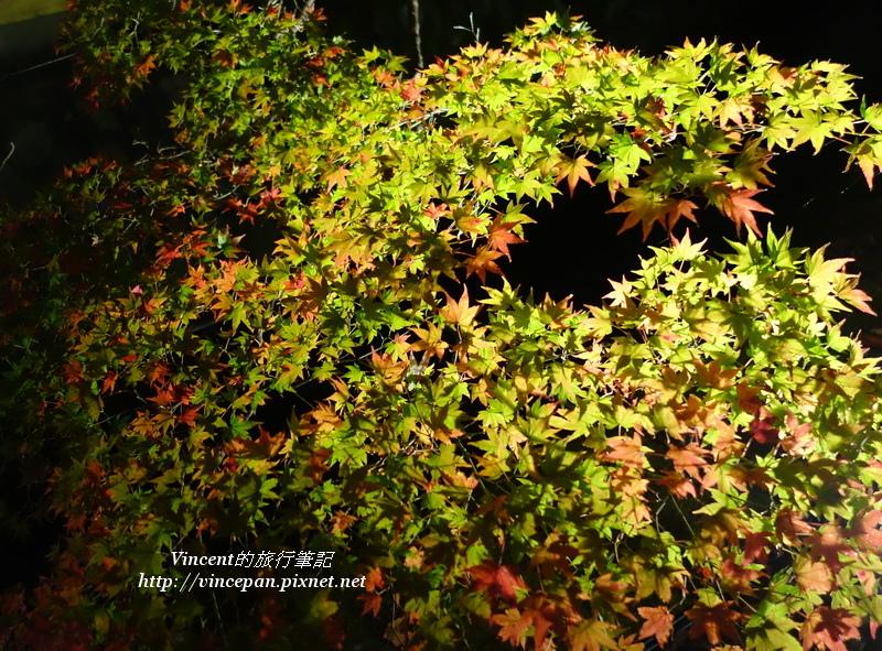 大覺寺 夜楓1