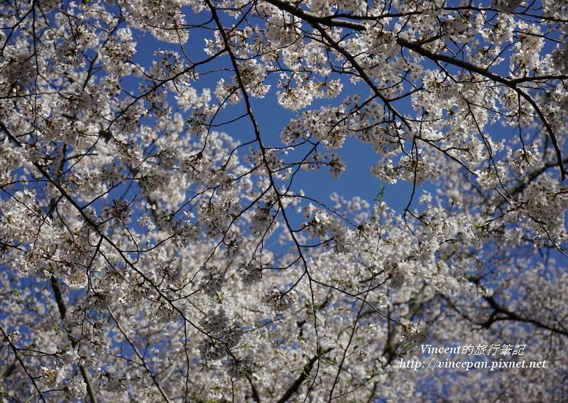 小諸城址藍天櫻花