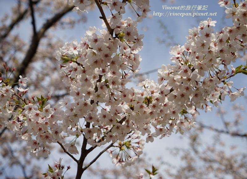 臥龍公園櫻花特寫2