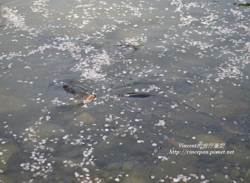 鯉魚吃櫻花瓣