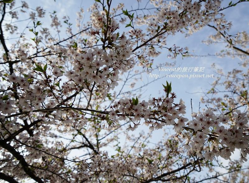 臥龍公園櫻花 天空