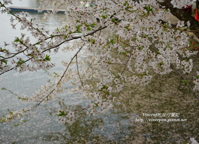 臥龍公園櫻花