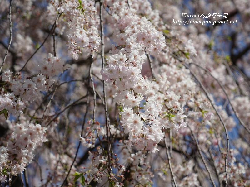 真田公園的枝垂櫻