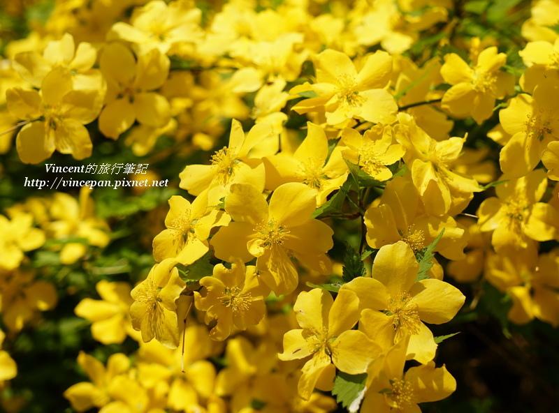 並木步道黃花