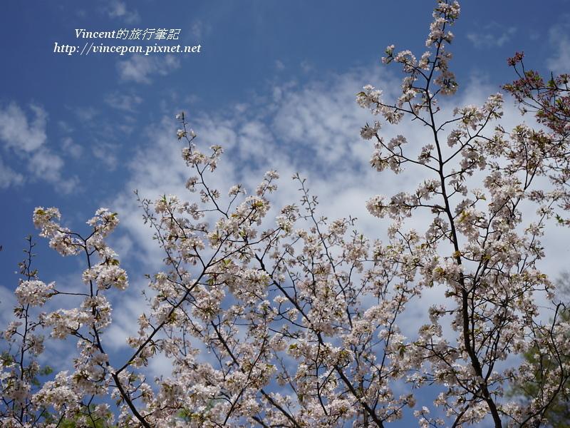 上田城 櫻花