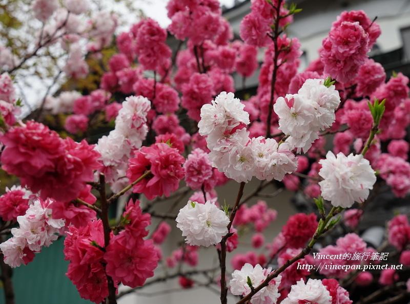 八重櫻-花桃1