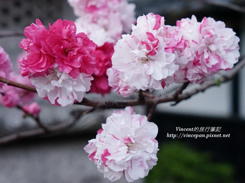 八重櫻-花桃