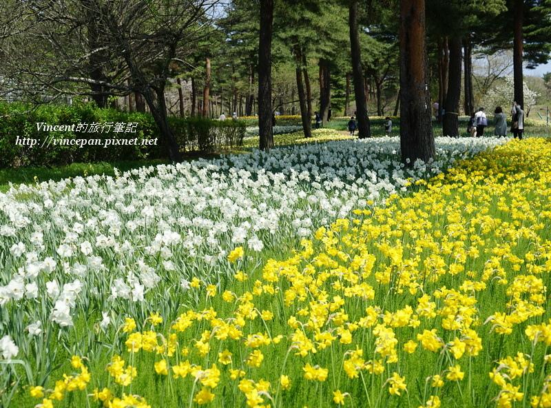 常陸海濱公園 黃白水仙花