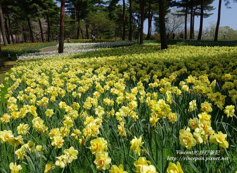 常陸海濱公園 黃水仙花