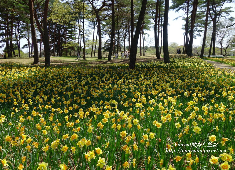 松林 黃水仙花