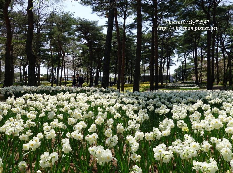 松林 白水仙花