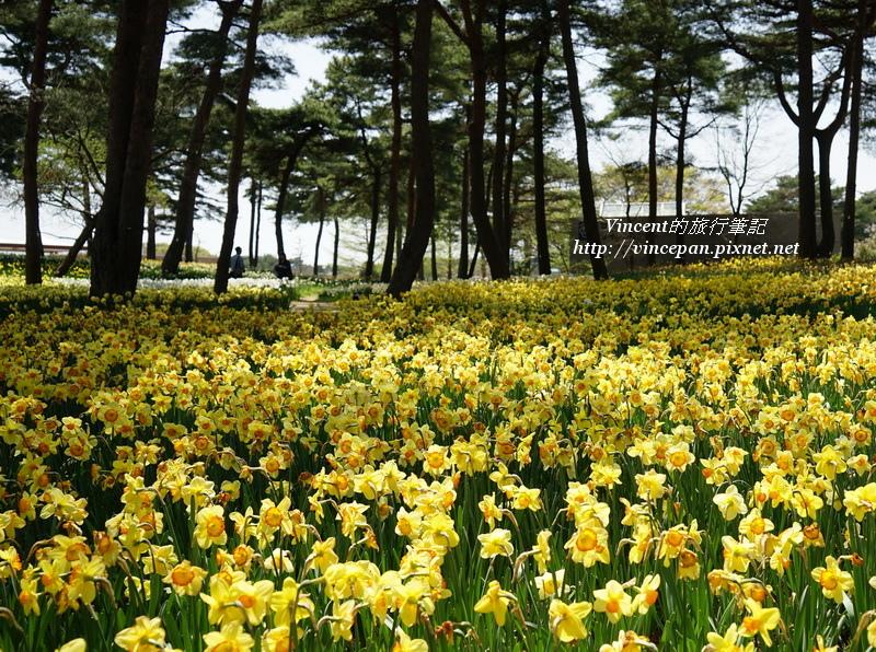 松林 黃水仙花2