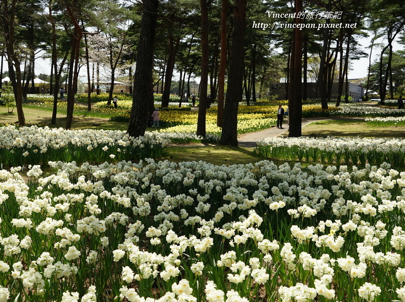 松林 白水仙花2