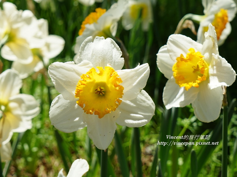 水仙花 黃白