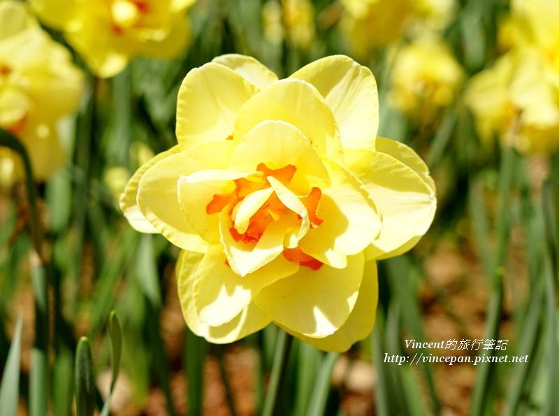 水仙花 黃2