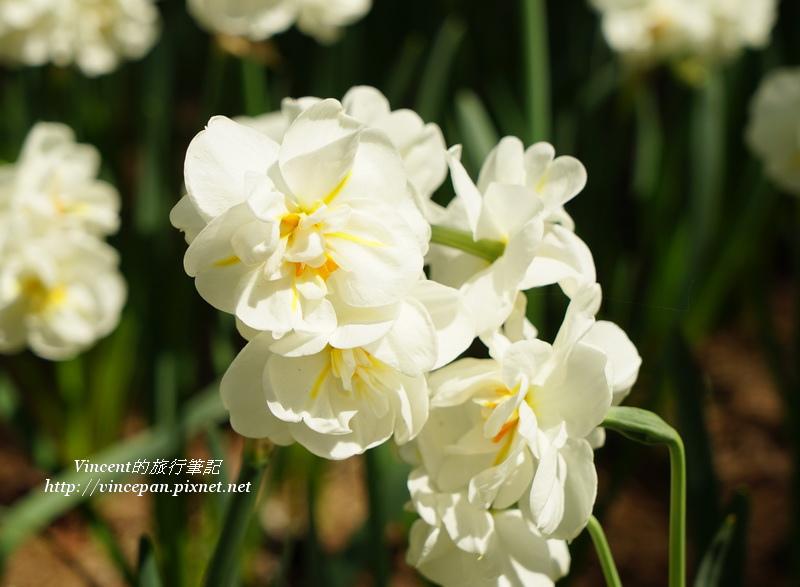 水仙花 白球