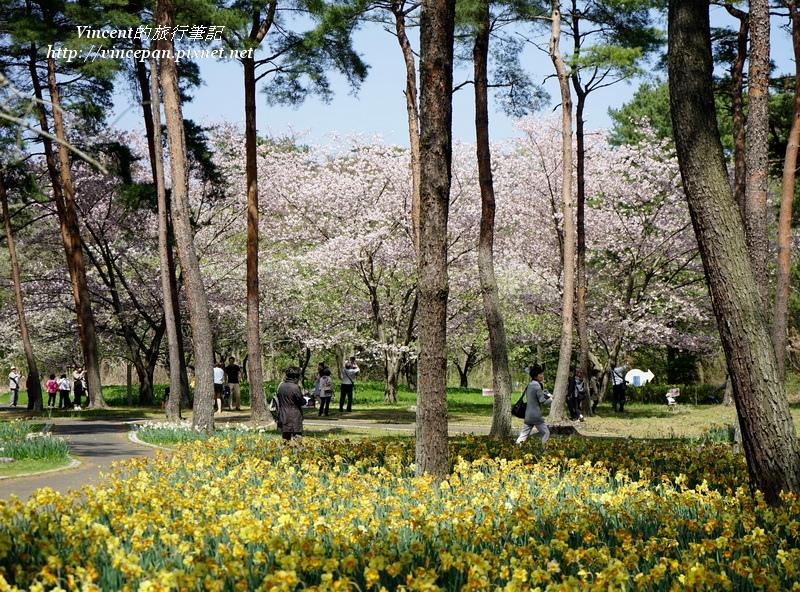 松林 水仙 櫻花