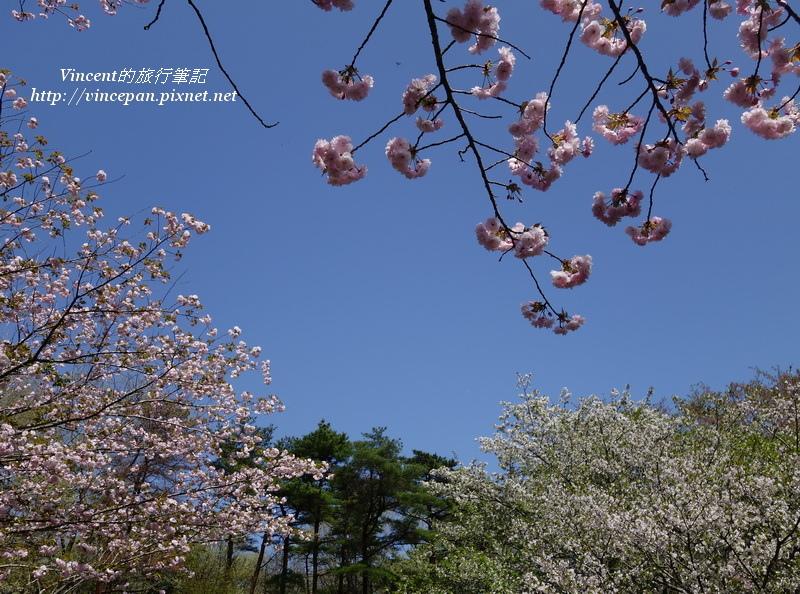 八重櫻天空