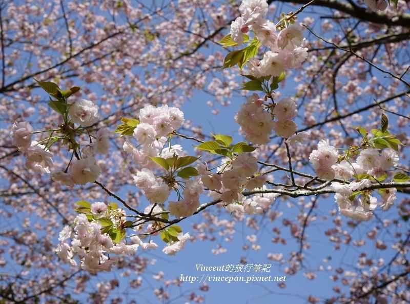 八重櫻花朵