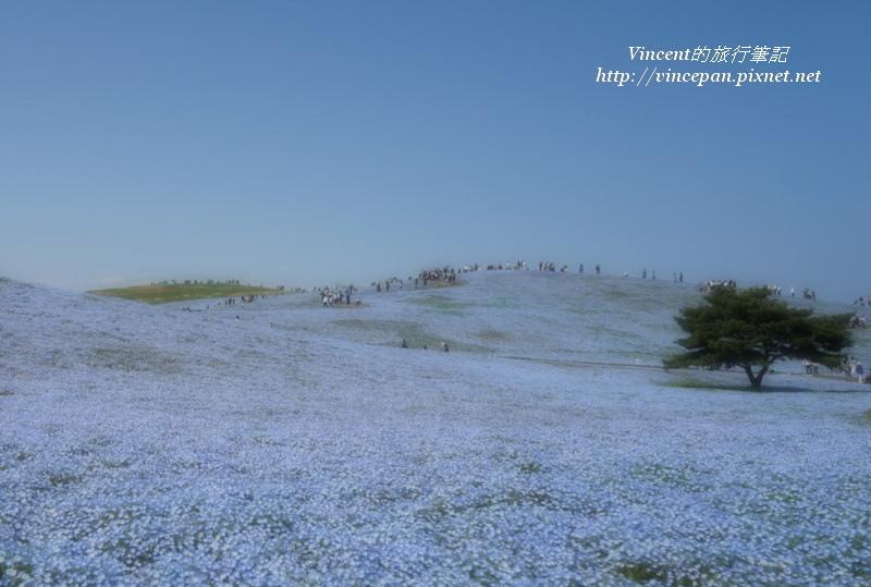 花海松樹 朦朧