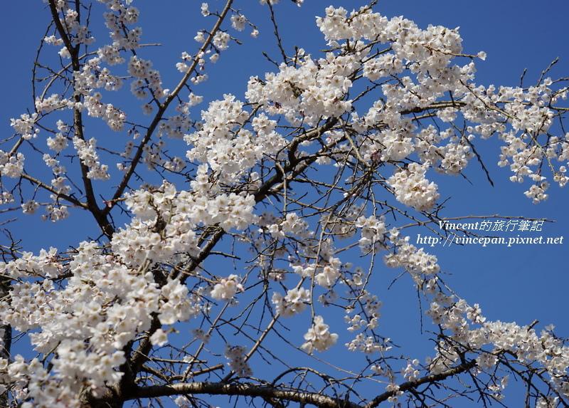 吉香公園 櫻花
