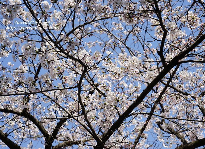 西公園 櫻花