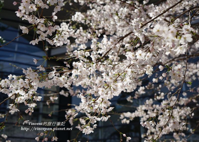 廣島美術館櫻花