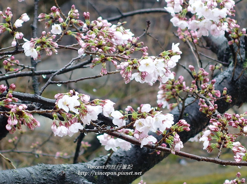 倉敷川櫻花