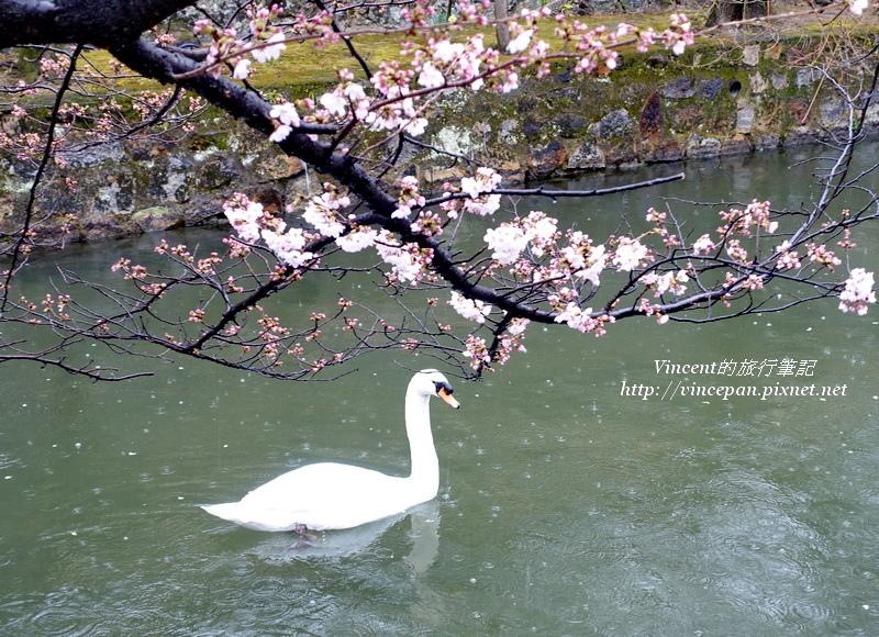 倉敷川天鵝