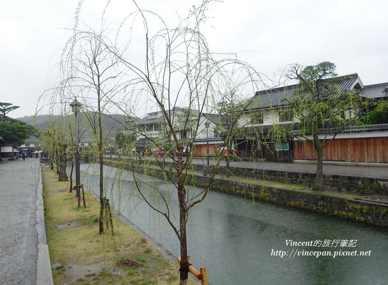 倉敷川 柳樹