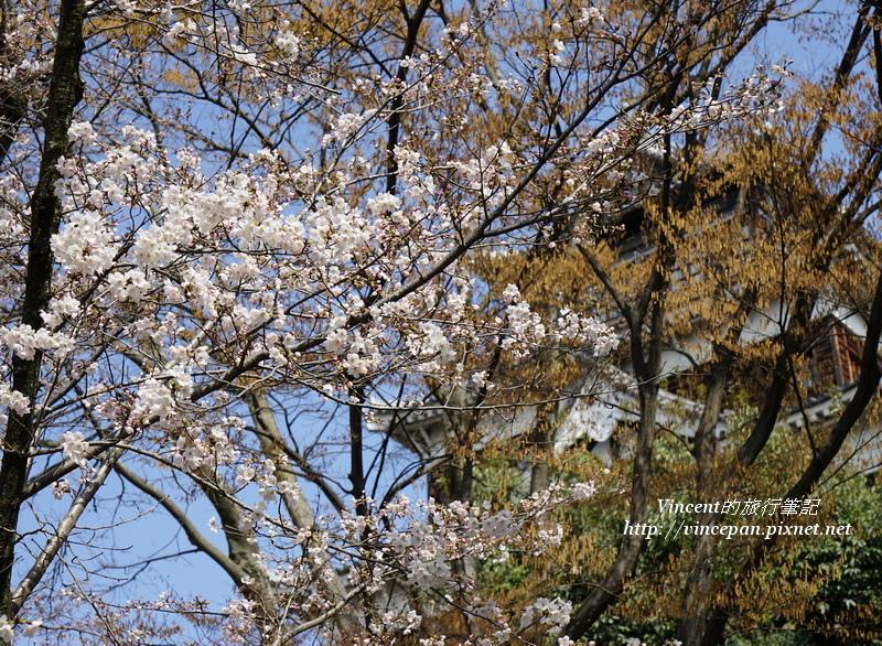 廣島城天守閣前櫻花