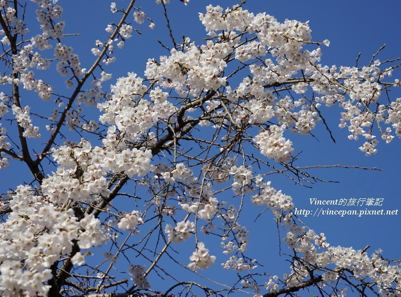 枝垂櫻 藍天