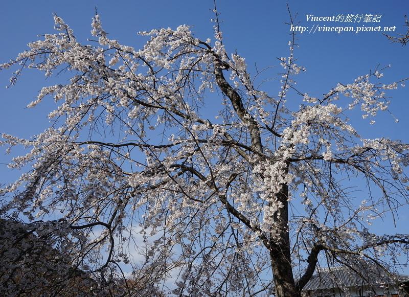 枝垂櫻 藍天1