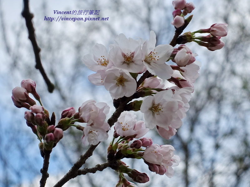 吉野櫻含苞