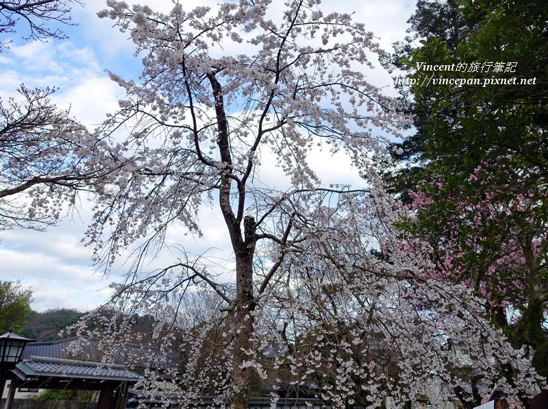 枝垂櫻開花
