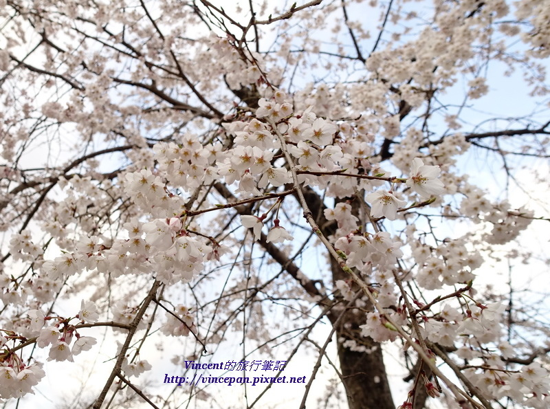 枝垂櫻開花1