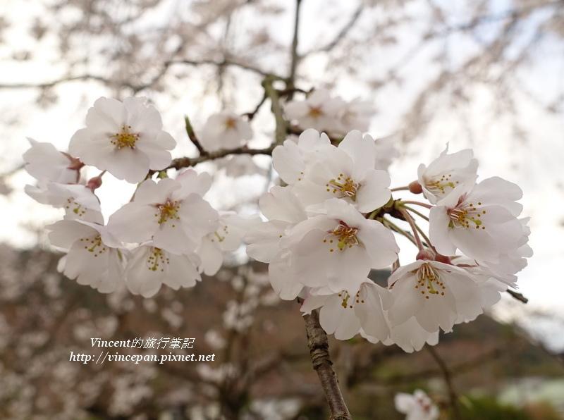 枝垂櫻開花2