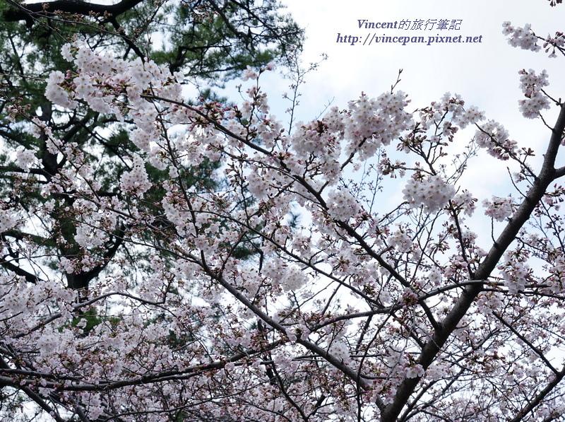 勝山公園櫻花