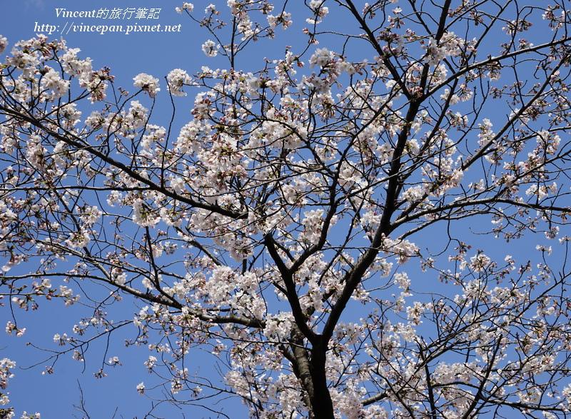西公園門口櫻花